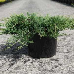 Juniperus (Juniper) Horizontalis Jade River