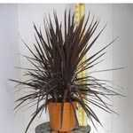 Cordyline Red Star 3 Trunk 18L