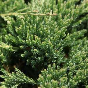 Juniperus (Juniper) Horizontalis Prince of Wales