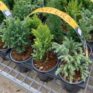 Conifer Mixed Pack of 6