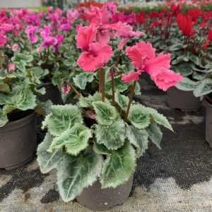 Cyclamen Winter Potted Mini 'Frilly' Light Pink