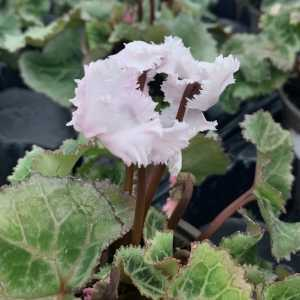 Cyclamen Winter Potted Mini 'Frilly' White