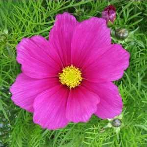 Cosmos (Deep Pink) 3 Ltr