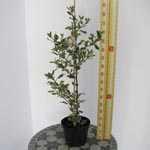 Ilex aquifolium 'Ferox Argentea' (Silver Hedgehog Holly) 3 Ltr
