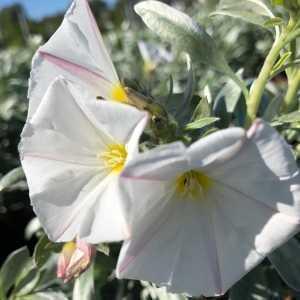 Convolvulus Cneorum (Silver Bush)