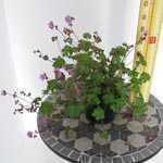 Geranium Cantabrigiense Karmina