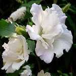 Hibiscus syriacus Admiral Dewey (Rose of Sharon)