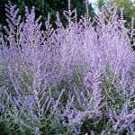 Perovskia Atriplicifolia (Russian Sage) 3 Ltr
