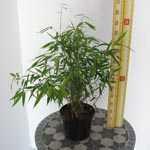 Fargesia Murielae 'Simba' Bamboo 3Ltr