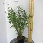 Fargesia Murielae 'Novecento' Bamboo