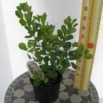 Cotinus coggygria Young Lady Smoke Bush 3Ltr