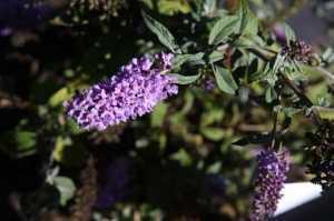 Buddleia Davidii Lilac Chip (Dwarf Butterfly Bush) Buddleja