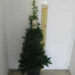 Laurus Nobillis Pyramid (Bay Tree Pyramid/Cone) 10 Litre Pot