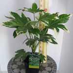 Fatsia japonica variegata Japanese Aralia (Variegated)
