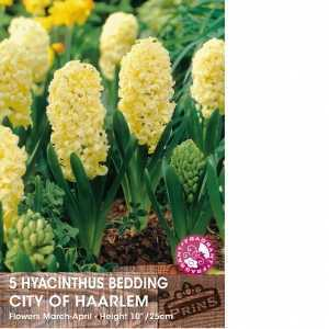 Hyacinth Bedding Bulbs City of Haarlem 5 Per Pack