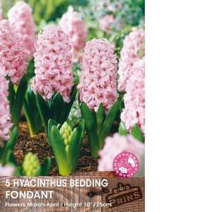 Hyacinth Bedding Bulbs Fondant 5 Per Pack