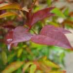 Nandina domestica (Heavenly Bamboo)