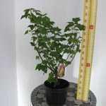 Whitecurrant Bush White Pearl  Ribes Rubrum 4Ltr
