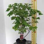 Redcurrant Rolan (Ribes Rubrum) 4Ltr