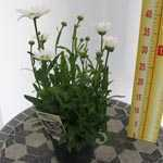 Leucanthemum Dwarf Snow Lady (Shasta Daisy) 2 Ltr