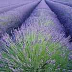 Lavender - Lavandula Officinalis (Blue Flower) 3ltr