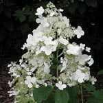Hydrangea Brussels Lace