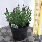 French Lavender  (Lavander/Lavandula Stoechas Kew Red) 3Ltr