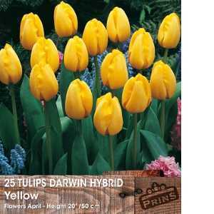Tulip Bulbs Darwin Hybrid Yellow 25 Per Pack