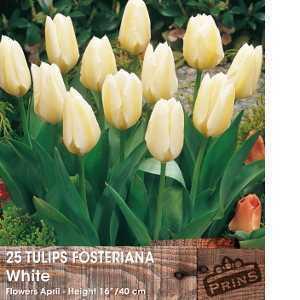 Tulip Bulbs Fosteriana White 25 Per Pack