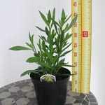 Helenium Wyndley (Sneezeweed)