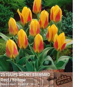 Tulip Bulbs Short Stemmed Yellow & Red 25 Per Pack
