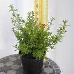 Ceanothus Madagascar (Californian Lilac) 3Ltr