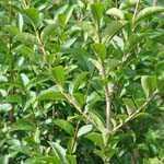 Ligustrum Ovalifolium Aureum Yellow/Golden Privet Hedging Plant