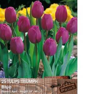Tulip Bulbs Triumph Blue 25 Per Pack