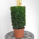 Buxus Sempervirens Cylinder 5 Ltr (Box Hedge)