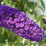 Buddleia (Buddleja) Davidii Black Knight / Butterfly Bush