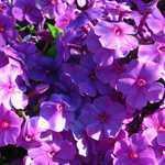 Phlox Purple Flame 3 Ltr