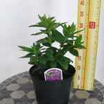 Phlox Paniculata Famous Purple