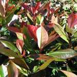 Photinia Red Robin Trellis Climber 20 Litre Pot