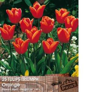 Tulip Bulbs Triumph Orange 25 Per Pack