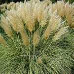 Cortaderia Selloana Splendid Star (Dwarf Golden Pampas Grass) 3 Ltr