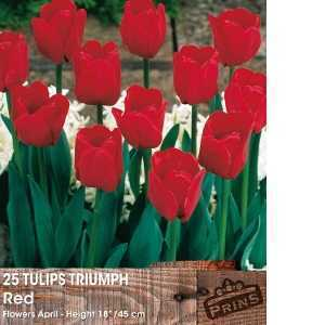 Tulip Bulbs Triumph Red 25 Per Pack