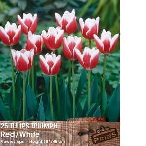 Tulip Bulbs Triumph Red & White 25 Per Pack