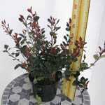 Photinia x Fraseri Little Red Robin (Hedging)
