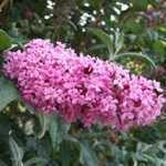Buddleia Davidii (Buddleja) Pink Delight (Butterfly Bush) 3.5 Ltr