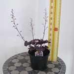 Heuchera 'Plum Royale' Coral Bells 3ltr