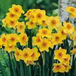 Narcissus Tazetta Hoopoe Bulbs (Daffodil) 25 Per Pack