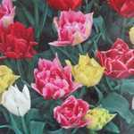 Tulip Bulbs Double Mixed 25 Per Pack