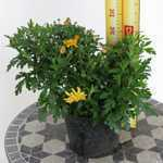 Chrysanthemum Hardy Sunny Igloo (Dendranthema)