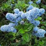 Ceanothus Thyrsiflorus Yankee Point (Californian Lilac) 3Ltr